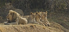 Its a family affair (paul.ralphs) Tags: lion pride africa nature bushveld safari wild wildlife canon canon7d gamepark southafrica