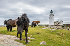 Horses by the Lighthouse (Infomastern) Tags: hallandsvder vdern animal djur fyr horse hst lighthouse exif:model=canoneos760d exif:focallength=24mm geocountry camera:make=canon exif:isospeed=100 camera:model=canoneos760d geostate geolocation exif:aperture=80 geocity exif:lens=efs18200mmf3556is exif:make=canon
