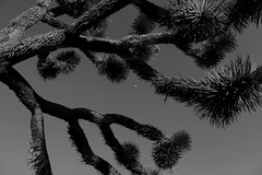 * (**atram**) Tags: joshuatreenationalpark cactus tree sky moon bw joshuatree branches infinity reachingout