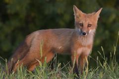 Young Fox at ISO 6400 (Natimages) Tags: iso6400 highiso lowlight fox redfox animal wildanimal nature sunset sunrays pentaxk3 da3004