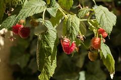Himbeeren in verschiedenen Reifestadien - Raspberries in different stages of ripening (riesebusch) Tags: berlin garten marzahn