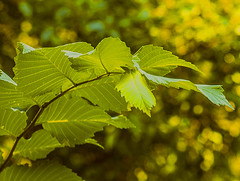 """""""plant life in central park"""" (nrhodesphotos(the_eye_of_the_moment)) Tags: dsc03887160 theeyeofthemoment21gmailcom wwwflickrcomphotostheeyeofthemoment bokeh plantlife leaves stem ribs greenery centralpark summertime season outdoor manhattan nyc green nature"""