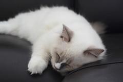 Canon_20160827017 (Snowy Olaf) Tags: kitten britishlonghair       feliscatus   canon eos400d ef50mmcompactmacro f25