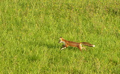 Renard chasseur (Raymonde Contensous) Tags: renard animal prs campagne nature neschers puydedme auvergne renardroux