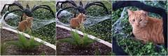 Harry & the Web (Anne Worner) Tags: anneworner cat caught feline funny funnyoutside grimace spider sticky tabbytomcat triptych web