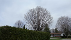 Fans in Kanata - (Shirley Pickthorne-Elliott) Tags: trees hedge kanata ottawa earlyspring