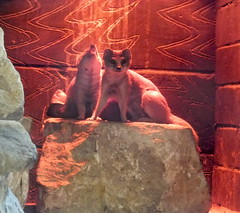 Mongoose (Lebatihem) Tags: mongoose marwell marwellzoo