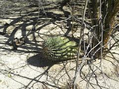 baja-0540 (Robby's Sukkulentenseite) Tags: bajasur cacti cactus ferocactus fnrrb1063 ka1147s kakteen kaktus laventana mexiko peninsulae rb1063 reise standort townsendianus