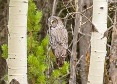 Grand Teton National Park - Granite Canyon Trail         - Great Gray Owl (gregoryl.johnson56) Tags: grandtetonnationalpark