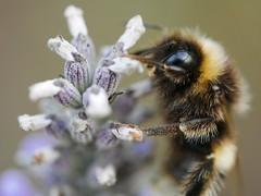 The lavender frill rub (von8itchfisk) Tags: macro bee lavender nature outside garden bug insect hill mob battisford von bitchfisk