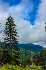 Pine tree meets mountain, Smoky Mountains. August 2016 (tarell_sallie) Tags: tree trees pinetrees tennessee northcarolina carolina border state states unitedstates unitedstatesofamerica usa america gatlinburg pigeonforge cherokee smokys smokymountains greatsmokymountains greatsmokymountainsnationalpark nationalpark usnationalparks usnationalpark mountain mountains landscape scenery august 2016 travel roadtrip canon canont3i lightroom macbook imac mac edit blueskies sky skies beauiful gorgeous copyright clouds heaven thesouth usaphotobugs easternusaphotobugs artistic greatsmokeymountainsnationalpark