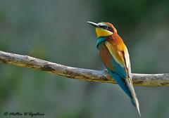 07062014-DSC_1657 (teodago) Tags: uccelli birs colori natura fauna nikon d300s specanimal