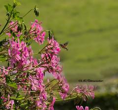 Kolibrievlinder / Macroglossum stellatarum (m.ritmeester) Tags: ngc naturelovers natuur oostenrijk pertisau karwendel roze groen bruin kolibrievlinder