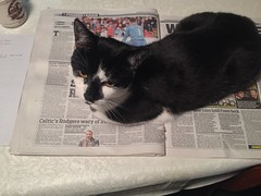 Guinness - helping me read the paper . 26/9/16 (busmothy) Tags: cat guinness newspaper