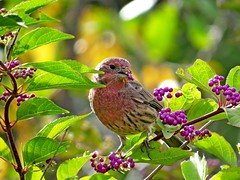 House Finch & Beauty Berry, Urban Forestry Center, Portsmouth, NH 9/27/16 (LJHankandKaren) Tags: urbanforestrycenter finch beautyberry housefinch