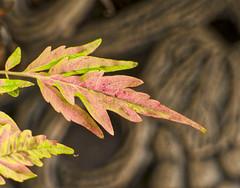 Sumac Leaves (mmorriso2002) Tags: sumac leaves interestingbackground