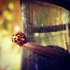 Little Lady (Venusian Lady) Tags: macro fall lady garden insect square landscape bokeh squareformat ladybug iphoneography instagram instagramapp xproii uploaded:by=instagram