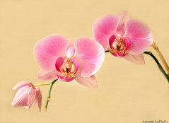 Shades of Pink (Annette LeDuff) Tags: pink orchid flower macro beautiful flora open soe tude favorited musictomyeyes finegold floralfant