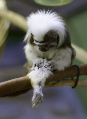 Cotton-headed Tamarin (Saguinus oedipus)_2 (guppiecat) Tags: saguinusoedipus cottonheadedtamarin