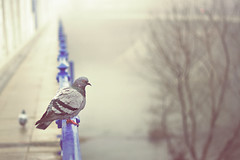 Paloma (Juanedc) Tags: bridge winter espaa mist cold building bird animal rio fog river puente pigeon paloma ironbridge zaragoza ave aragon invierno pajaro ebro neblina fro niebla saragossa bruma puentedehierro