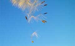 Dandelion seeds (fxdx) Tags: blue sky macro nature dandelion seeds