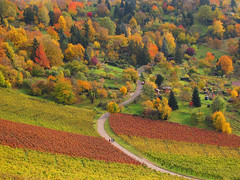 Autumn Colors (Batikart) Tags: road autumn trees red people orange plants mountains green fall nature colors leaves lines yellow rural forest canon germany way landscape geotagged outdoors deutschland leaf vines europa europe seasons quilt wine stuttgart path stripes patterns hill felder tranquility aerialview foliage growth vineyards grapes fields greenery recreation agricultu