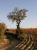 A Tree (Annie in Beziers) Tags: france tree vines vineyards lane curved vignes languedoc hérault montady ploughedearth annieinbéziers
