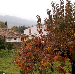 Kaki/Persimmon tree - welcome touch of colour (Benissiva Calling (slow, but around )) Tags: tree arbol village olympus persimmon pueblecito kaki valldegallinera benissiva xz1