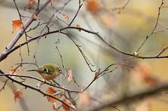 Goldcrest (RJP_Blob) Tags: uk autumn winter england tree bird nature birds canon woods branch dof bokeh wildlife sandy bedfordshire 100400mm goldcrest rspb 550d rspbsandy