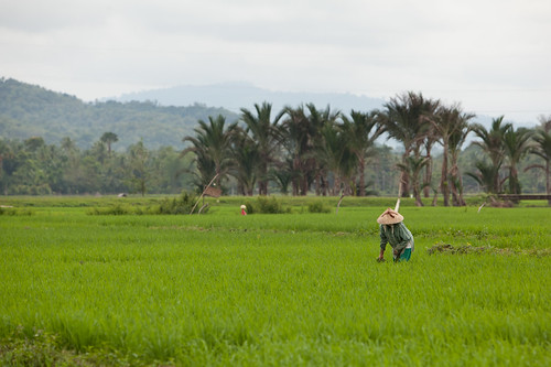 Rice field in Bireuen, Indonesia. Photo by Mike Lusmore/Duckrabbit, 2012.