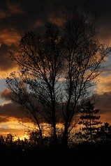 Schwarz-Pappel im Abendlicht; Damp (789) (Chironius) Tags: trees sunset sky tree clouds germany atardecer deutschland abend zonsondergang rboles tramonto nuvole sonnenuntergang dusk himmel wolke wolken boom ciel arbres cielo rbol alemania dmmerung nuage crpuscule albero bume allemagne arbre ostsee rvore baum nube hemel trd germania damp schleswigholstein gegenlicht schemering crepuscolo gkyz  ogie aa  pomie   populus pappeln   salicaceae niemcy rosids malpighiales   baltischesmeer pomienie weidengewchse malpighienartige szlezwigholsztyn fabids