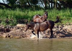 Paseo por la isla (Nico Coirini) Tags: horses naturaleza nature animals caballos rosario animales