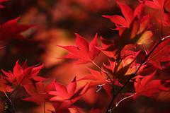 Giving Thanks (seddeg ~) Tags: thanksgiving red leaves japanese maple thankyou bokeh psalm100 img0730w