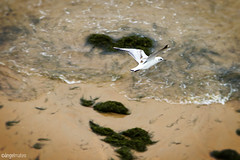 Volar (ngel mateo) Tags: espaa mar playa olas gaviota santander cantabria vuelo volar playadelsardinero ngelmartnmateo ngelmateo