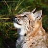 Lynx (amcgdesigns) Tags: baby cute animal cat canon eos cub scotland eyes unitedkingdom cubs lynx lightroom kincraig highlandwildlifepark canon100400mm eos7d flickrbigcats lightroom4 andrewmcgavin ©andrewmcgavin