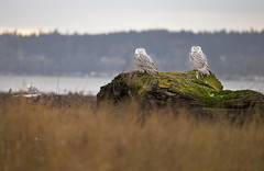 Snowy Owls (chasedekker) Tags: canada bird birds bay snowy columbia arctic owl chase british boundary owls dekker