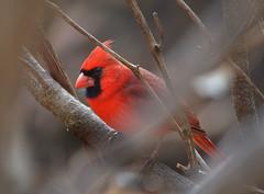 Northern Cardinal (Arvo Poolar) Tags: red bird nature wildlife scarborough northerncardinal nikond7000