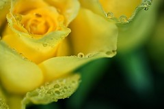 11-29-yellow-miniature-rose (Paul Sibley) Tags: flower photoaday nikond60 2012inphotos ufbestof2012contest