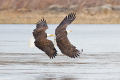 I'm sniffing on your six (catoledo) Tags: eagles birdsofprey americanbaldeagle fotocompetition fotocompetitionbronze conowingo2012
