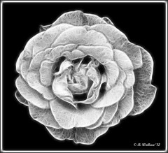 Rose 1 - Fractalius (starg82343) Tags: bw white black nature rose manipulated altered outside outdoors effects md maryland monotone easternshore plugin grayscale 2d enhanced brianwallace unicornlake fractalius