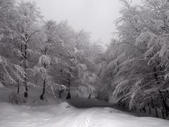 Winter Beechs (elosoenpersona) Tags: winter snow nature forest nieve asturias bosque invierno cordillera nevado fagus hayas snowed sylvatica cantabrica beechs elosoenpersona