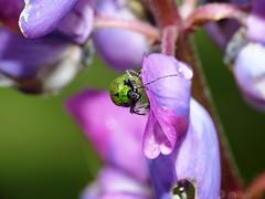 Green Coleoptera Bettle (Hugo Quintero) Tags: macro verde green escarabajo bettle coleoptera dcr250 raynox greatnature macrolicious cucarron