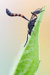 Bee Wasp (johnhallmen) Tags: macro insect wasp naturallight hymenoptera canonmpe65 gasteruptiidae canon5dmkii zerenestacker