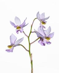 Barkeria whartoniana - 2012-12-09-_DSC3922 (jakobae) Tags: tag herbst pflanzen orchidaceae gewchshaus orchideen grten greenhaus bltenpflanzen spermatophyta samenpflanzen infloreszenz magnoliophytina bedecktsamigepflanzen 01jakob gartenundgewchshauspflutiere bltenstandblten gartenundgewchshaus pflutiere angiospermaebedecktsamige barkeriawarthonianabtyp7gekfeb2011inbern