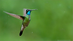 Magnificent Hummingbird (Raymond J Barlow) Tags: red art costarica hummingbird purple wildlife avian 200400vr nikond300 raymondbarlowtours