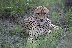 Ghepardo in Sudafrica (Vincenzo Tortorella) Tags: park pets safari cheetah animali kruger sudafrica ghepardo mpualanga