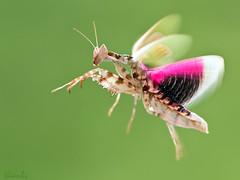 Bay ln EX (thienbs) Tags: macro mantis thienbs