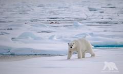 Polar Bear (fascinationwildlife) Tags: bear wild summer snow ice nature animal norway mammal kill wildlife natur north arctic polar predator northern spitsbergen br eisbr spitzbergen