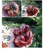 Brad's Black Oxheart was pulsing (a2zumac) Tags: kassenhoff tomatogals bradsblackoxheart heirloomtomato
