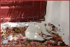 Sleeping beauty, Mykonos (K. Haagestad) Tags: cat sleeping petals flowers door mykonos animal